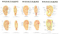 The Practical Chart of Ear Acupuncture Points (Chinese/English)