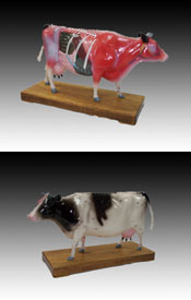Acupuncture Cow Model
