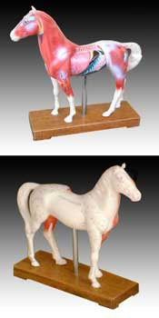 Acupuncture Horse Model
