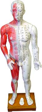 Free Shipping / Real Sized Acupuncture Human Body Model 174cm (5' 13 tall)
